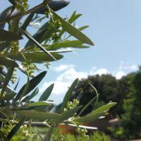 oliviers, vignes, nature, détente