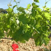vigne beaumes de venise, vin beaume de venise